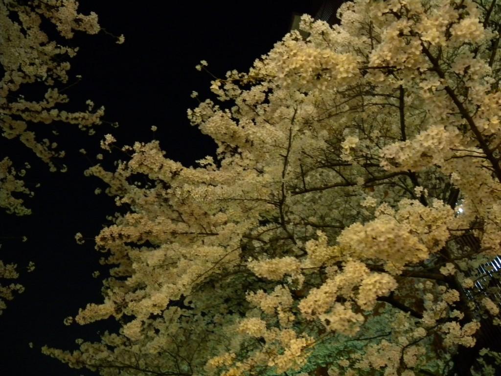 20140402夜桜 008